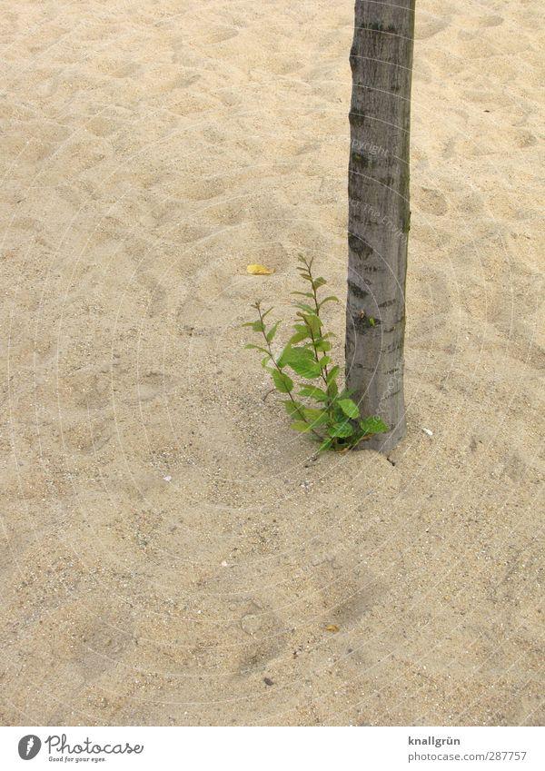 Oase Natur grün Pflanze Baum Umwelt Gefühle Sand braun natürlich Kraft Klima Wachstum Blühend Baumstamm Überleben karg