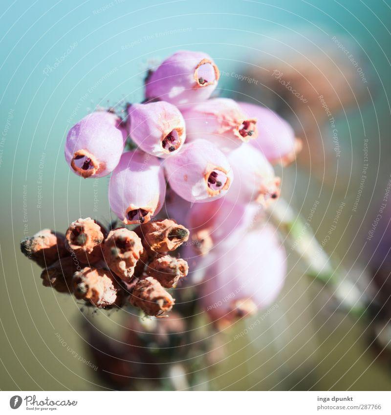 Erika Umwelt Natur Landschaft Pflanze Herbst Wildpflanze Bergheide Heidekrautgewächse Wiese schön Jahreszeiten Herbstlaub herbstlich Vergänglichkeit zart