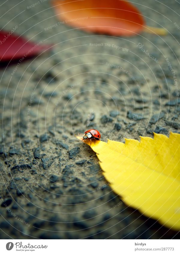 Vagabunt Herbst Blatt Asphalt Marienkäfer 1 Tier Duft krabbeln leuchten Freundlichkeit klein niedlich positiv schön gelb orange rot Leben Glück Optimismus rein
