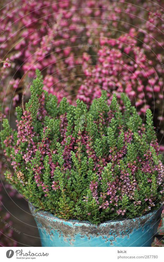Erika trägt heut stehndes Haar Häusliches Leben Pflanze Herbst Sträucher Topfpflanze Garten Dekoration & Verzierung Blühend schön grün Bergheide