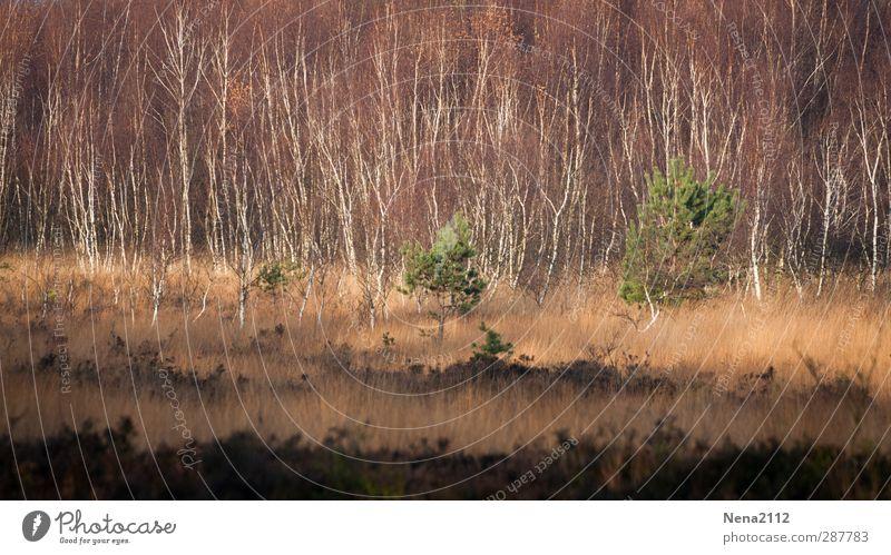 Herbst ins Venn Umwelt Natur Landschaft Pflanze Erde Schönes Wetter Baum Gras Sträucher Wildpflanze Wiese Wald wild braun grün Naturschutzgebiet Moor Moorbirke