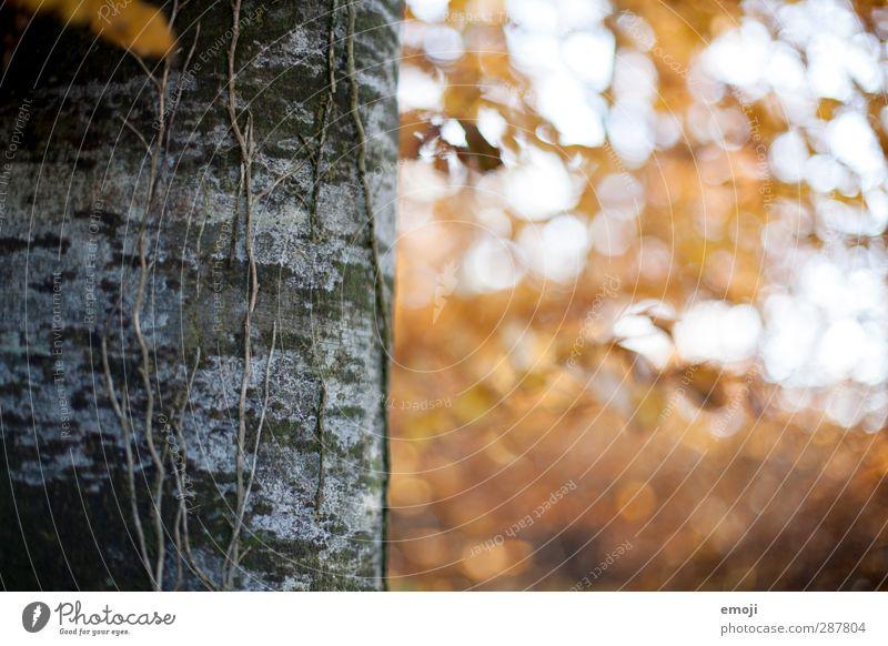 rechts Umwelt Natur Pflanze Herbst Baum Wald natürlich gelb Baumstamm Farbfoto Außenaufnahme Menschenleer Textfreiraum rechts Tag Schwache Tiefenschärfe