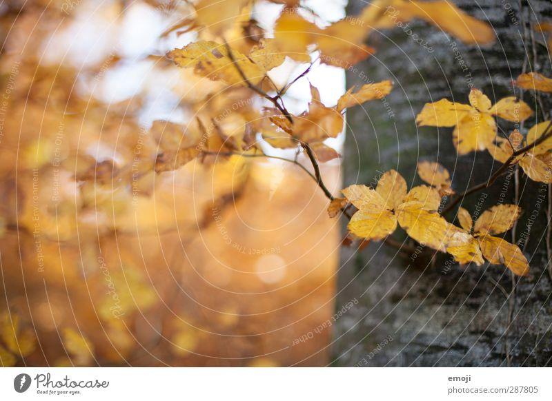 links Umwelt Natur Pflanze Herbst Baum Blatt Wald natürlich gelb Baumstamm Farbfoto Außenaufnahme Menschenleer Textfreiraum links Tag Schwache Tiefenschärfe
