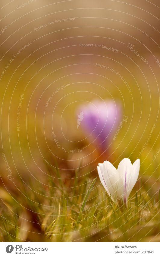 Get up! Natur Pflanze Frühling Schönes Wetter Blume Gras Blüte Krokusse Frühblüher Garten Park Wiese Blühend Wachstum Duft frisch natürlich braun grün violett