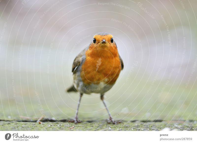 schau mir in die augen Natur Tier Umwelt grau Vogel orange Wildtier stehen niedlich Singvögel Rotkehlchen