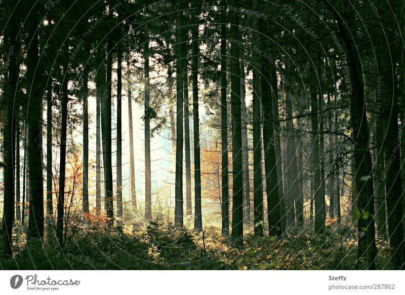 dunkler Herbstwald mit Lichtstimmung unheimlich verwunschen waldbaden mystisch heimisch mystischer Wald Lichteinfall Baumreihe Kiefernwald Waldluft Waldbäume