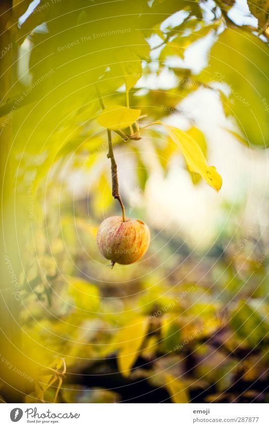 Äpfelchen Umwelt Natur Landschaft Pflanze Baum Garten natürlich süß grün Apfel Apfelbaum Frucht Farbfoto Außenaufnahme Nahaufnahme Menschenleer Tag