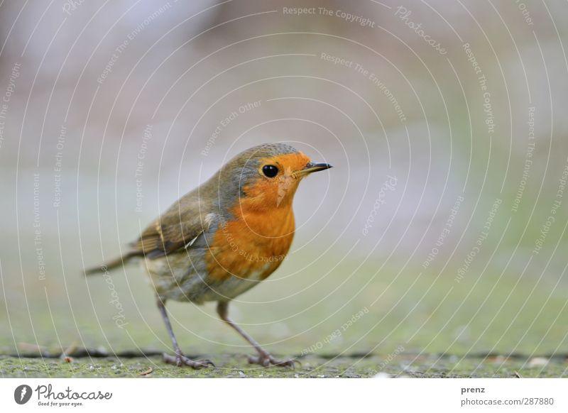 Vögelchen Umwelt Natur Tier Wildtier Vogel 1 niedlich grau grün orange rot Singvögel Rotkehlchen stehen Farbfoto Außenaufnahme Menschenleer Textfreiraum rechts