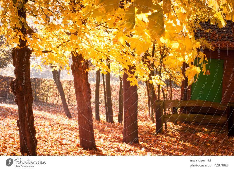 Leuchtendes Laub Umwelt Natur Landschaft Herbst Schönes Wetter Pflanze Baum Herbstlaub Verfall Vergänglichkeit goldener Herbst Jahreszeiten Wandel & Veränderung