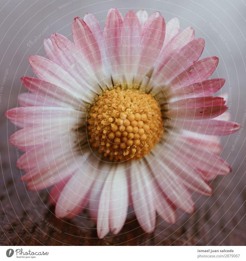 Gänseblume Pflanze Blütenblätter Korbblütengewächs Gänseblümchen Blume weiß Blütenblatt Garten geblümt Natur Dekoration & Verzierung Romantik Beautyfotografie