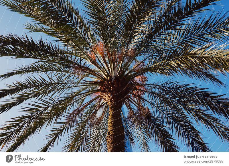 Palme am Strand Baum Ast Pflanze Blatt grün Garten geblümt Natur tropisch Himmel abstrakt Konsistenz Hintergrund neutral Frühling Sommer Herbst Winter