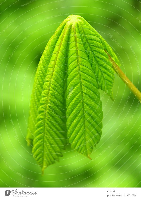 grüner Lappen Pflanze Blatt Baum hängen vertikal Natur Kastanienbaum flau