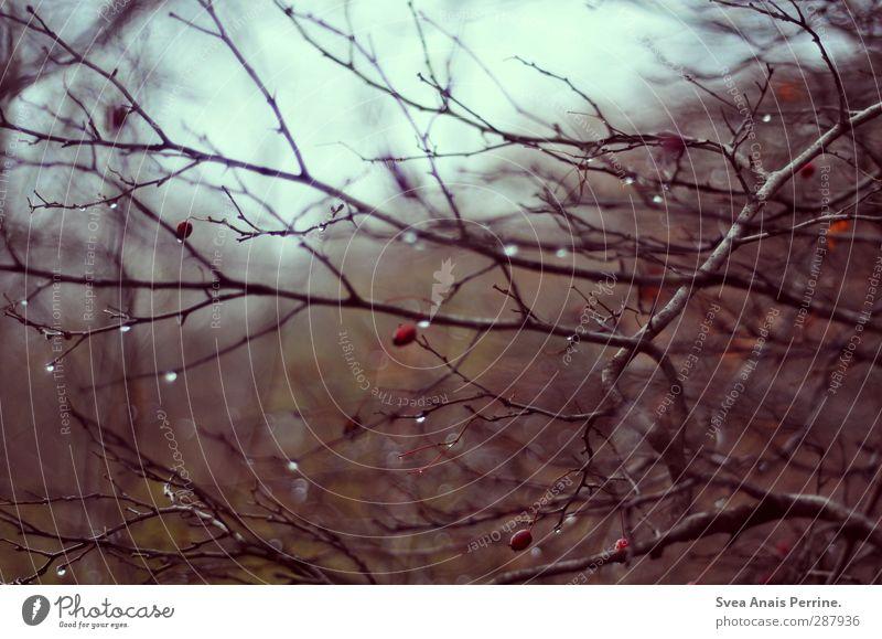 herbst. Natur Wasser Wassertropfen Herbst schlechtes Wetter Pflanze Sträucher Blatt Ast verzweigt Zweige u. Äste Hagebutten nass natürlich Schmerz Sehnsucht