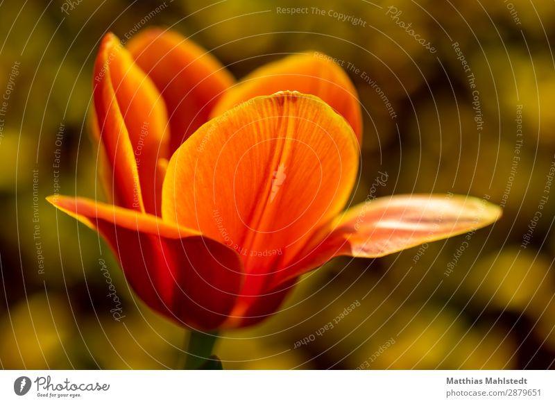 Blüte einer Tulpe Umwelt Natur Pflanze Frühling Blume Blühend leuchten außergewöhnlich Duft schön natürlich gelb gold orange Frühlingsgefühle Farbe Wachstum