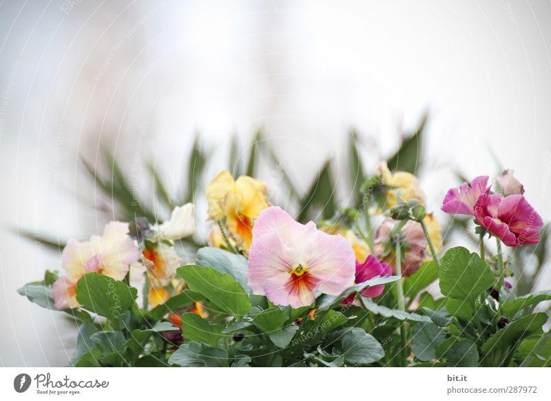 Wichtelpopichtel für Beate-Helena - Blumen für dein Blumenbett Pflanze schön weiß Sommer Blume Frühling Blüte Glück Feste & Feiern Garten rosa Dekoration & Verzierung Blühend Hochzeit Blumenstrauß Duft