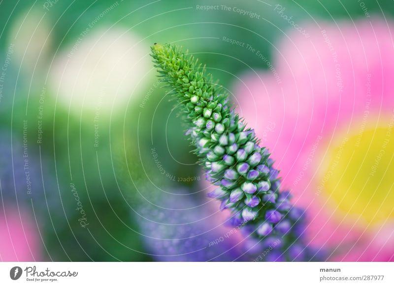 Wichtelpopichtel für ingairis Natur Sommer Pflanze Blume Frühling Blüte natürlich rosa Wachstum Blühend violett Blumenstrauß Blütenknospen Vorfreude