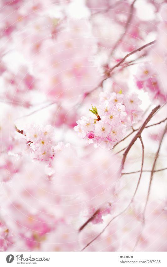 rosa Kirschblüten Natur Frühling Baum Blüte Kirschblütenfest Blühend Frühlingsgefühle Vorfreude Farbfoto Außenaufnahme Menschenleer Textfreiraum rechts