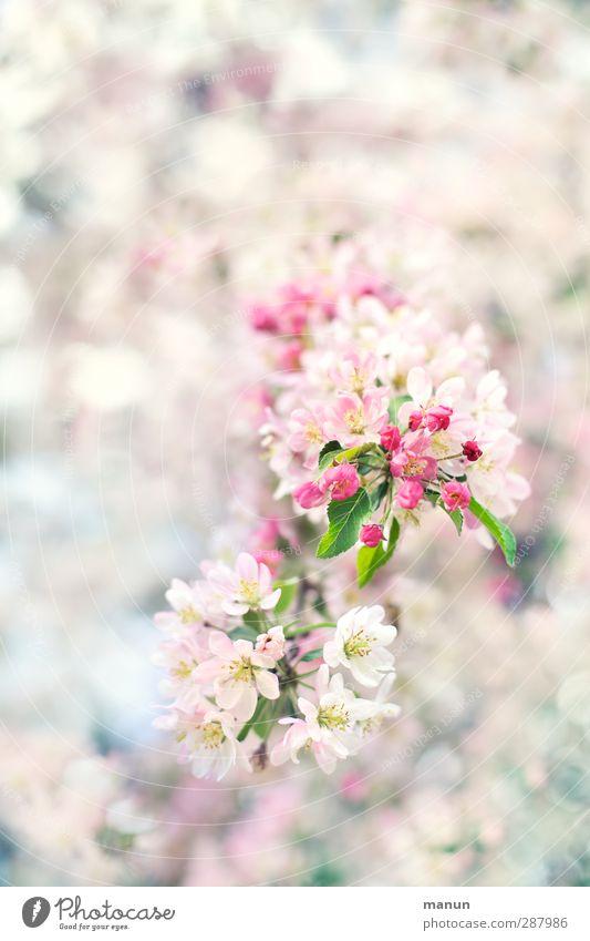 Blütenzweig Natur Frühling Baum Zweige u. Äste Kirschblüten Apfelblüte hell natürlich rosa weiß Frühlingsgefühle Vorfreude Farbfoto Außenaufnahme Menschenleer