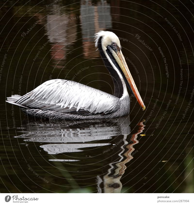 wichtelpopichtel für manun | taucher Wasser Tier Wildtier Zoo Pelikan 1 Spiegel Abenteuer entdecken Erholung Körperpflege Leben Lebensfreude schwarz