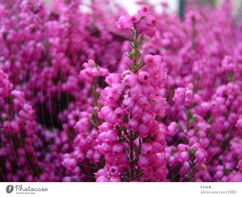 Erica gracilis II Heidekrautgewächse rosa