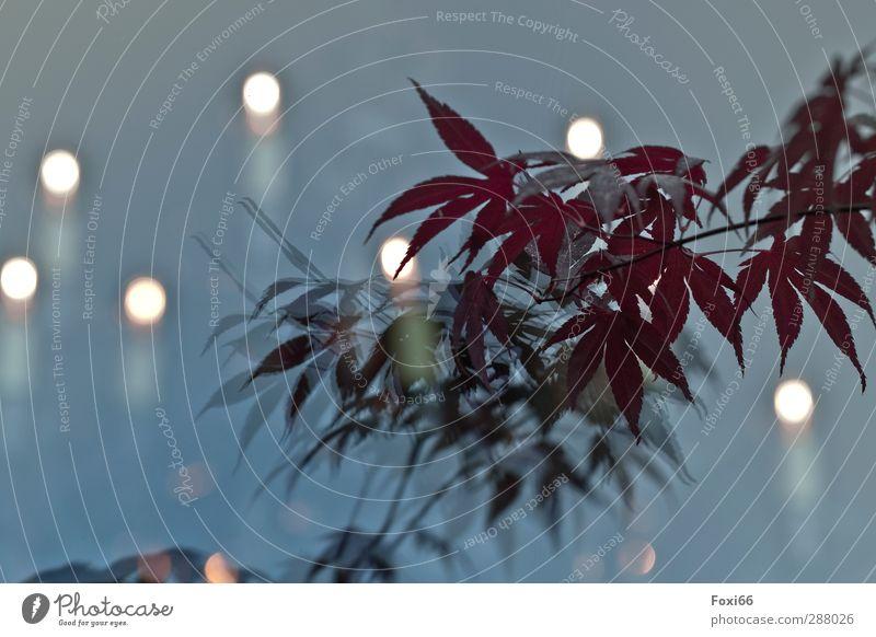 Wichtelpopichtel für Ginger / Lichtspiele Erholung ruhig Pflanze Topfpflanze Blätter Menschenleer schön natürlich Wärme blau rot weiß träumen Gefühle Stimmung