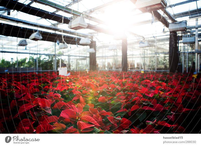 Weihnachtssterne Gewächshaus Natur Pflanze rot Blume Tier Blatt Umwelt lernen Studium kaufen genießen Landwirtschaft Student Berufsausbildung Gartenarbeit