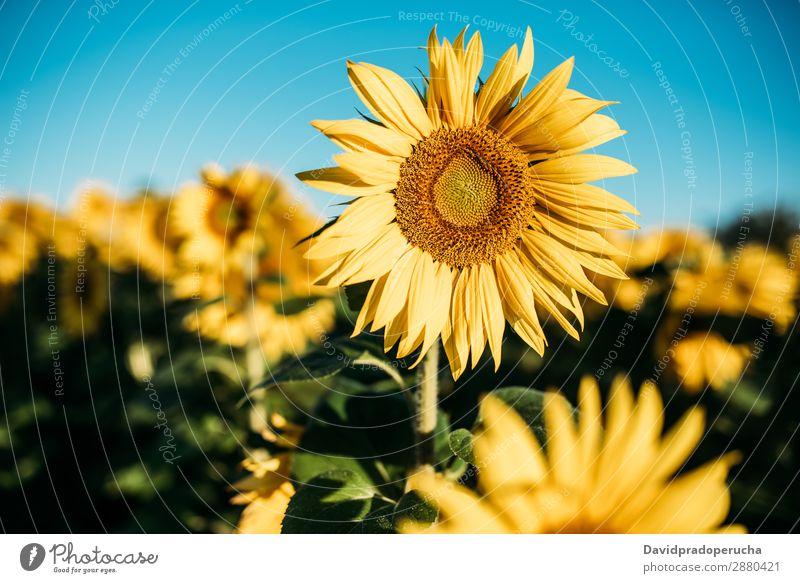 Schönes Sonnenblumenfeld Feld Hintergrundbild schön Natur grün Blume Sommer gelb Außenaufnahme Frühling Wiese Beautyfotografie Himmel Textfreiraum natürlich