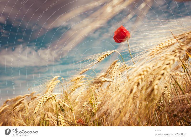 Die Schöne vom Land Himmel Natur schön Sommer Pflanze rot Wolken Landschaft gelb Umwelt Blüte Stimmung Feld Wind Wachstum Schönes Wetter