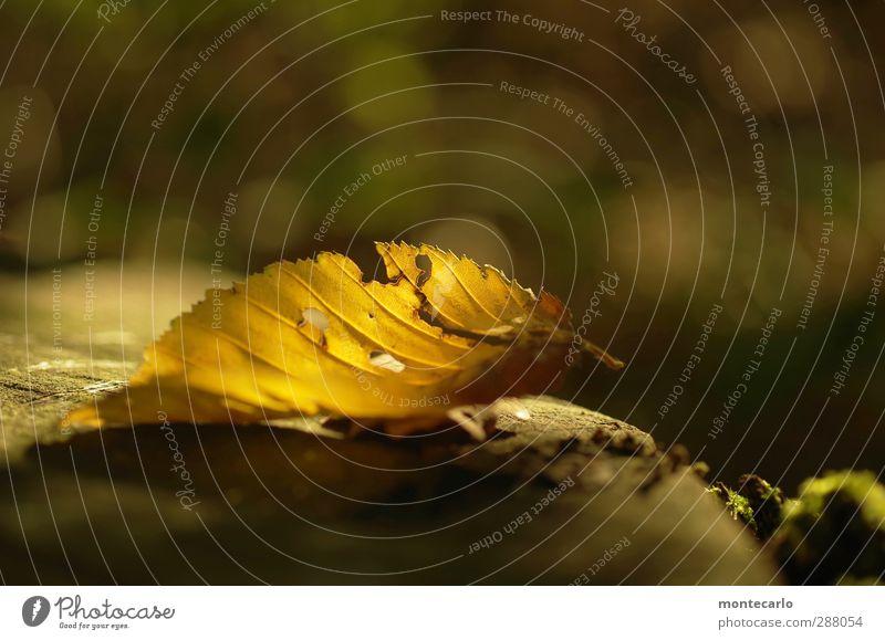 Wichtelpopichtel für like.eis.in.the.sunshine Umwelt Natur Pflanze Herbst Schönes Wetter Blatt Wald leuchten alt Spitze trocken gelb Vergänglichkeit Zacken