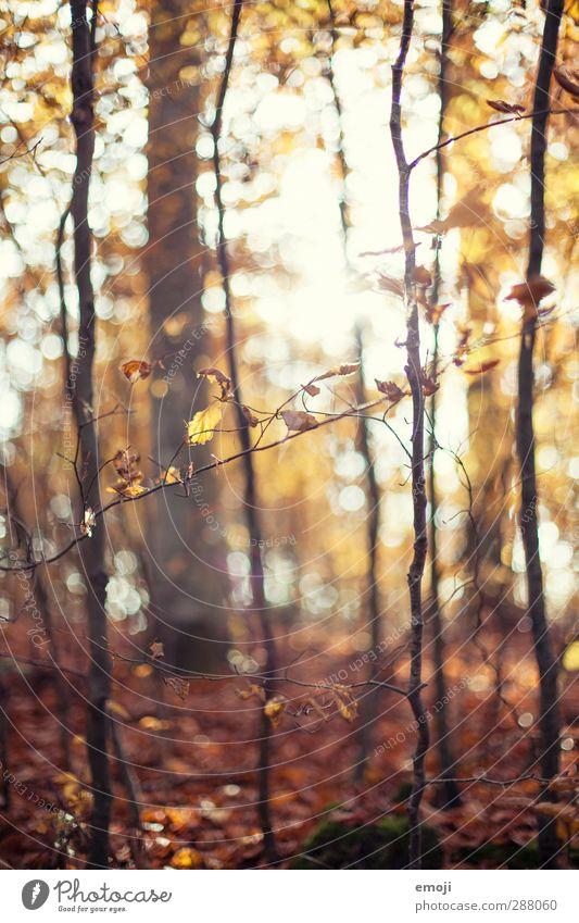 Wald Umwelt Natur Herbst Pflanze Baum Blatt natürlich braun Laubwald Farbfoto Außenaufnahme Tag Sonnenlicht Sonnenstrahlen Schwache Tiefenschärfe
