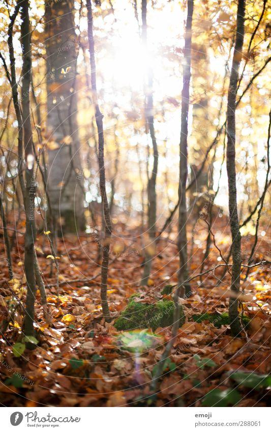 im Umwelt Natur Landschaft Blatt Wald natürlich braun Laubwald Farbfoto Außenaufnahme Menschenleer Tag Licht Sonnenlicht Sonnenstrahlen Schwache Tiefenschärfe