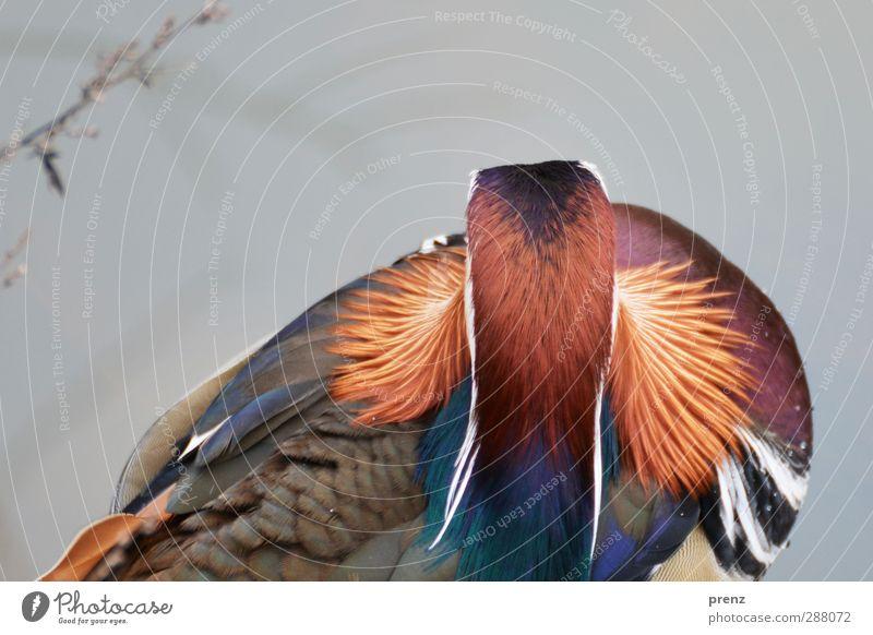 Gefieder Natur blau rot Tier Umwelt Vogel Wildtier Ente Mandarinente