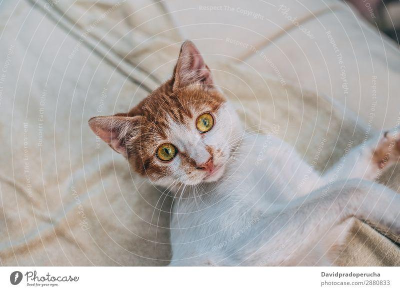 Porträt häuslich süßes Haustier Katze Tier Reinrassig Säugetier heimisch pelzig Katzenbaby niedlich züchten hübsch Auge flockig Pelzmantel Mieze Ohr Blick