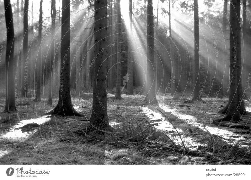Black Forrest Baum Sonne Wald Licht Schwarzweißfoto Lichteinfall