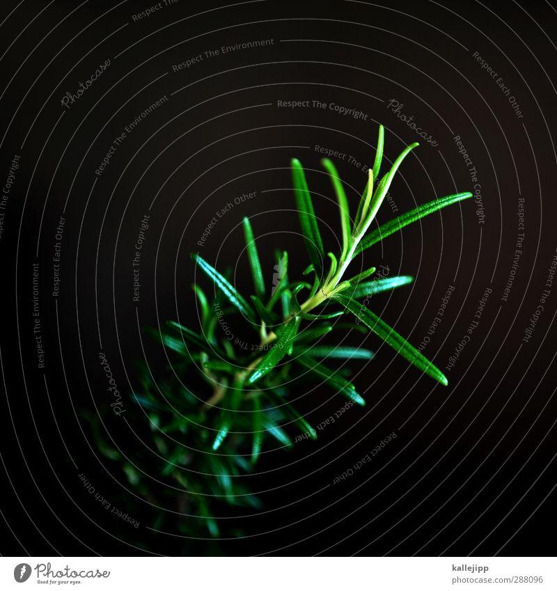 rosemarie Natur Pflanze Grünpflanze Garten grün Kräuter & Gewürze Rosmarin Zweig Farbfoto Innenaufnahme Licht Schatten Kontrast Low Key Unschärfe