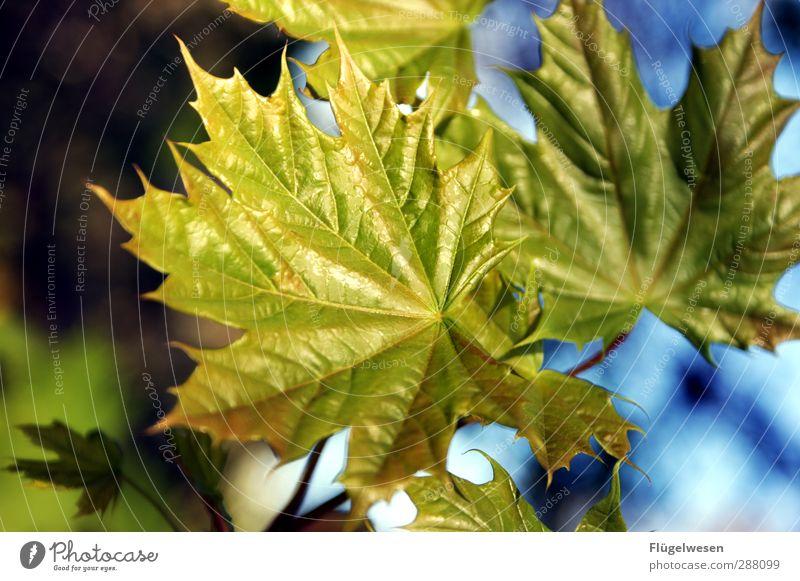 Blattgold Umwelt Natur Landschaft Pflanze Tier Klima Klimawandel Wetter Sträucher Blüte Grünpflanze Nutzpflanze Wildpflanze Garten Park Wiese leuchten