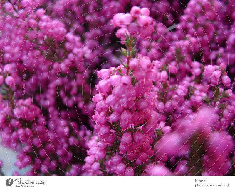Erica gracilis III Heidekrautgewächse rosa