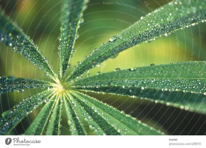 grüner Regen Pflanze Blatt Natur Detailaufnahme Wassertropfen Echte Farne