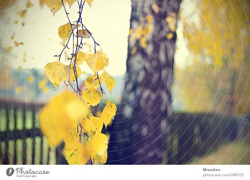 Herbstbirke Natur Pflanze Baum Blatt ruhig Umwelt Holz Garten Regen Nebel einzeln Ast Zweig herbstlich Herbstfärbung
