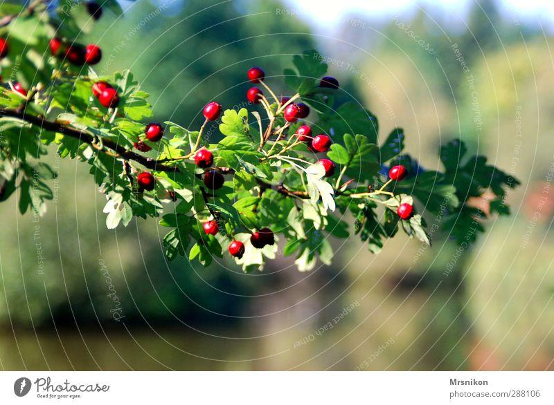 zweig Natur Sommer Herbst Schönes Wetter Pflanze Baum Sträucher Frühlingsgefühle Zweig Zweige u. Äste Ast Vogelbeeren Vogelbeerbaum Fruchtstand Blattgrün