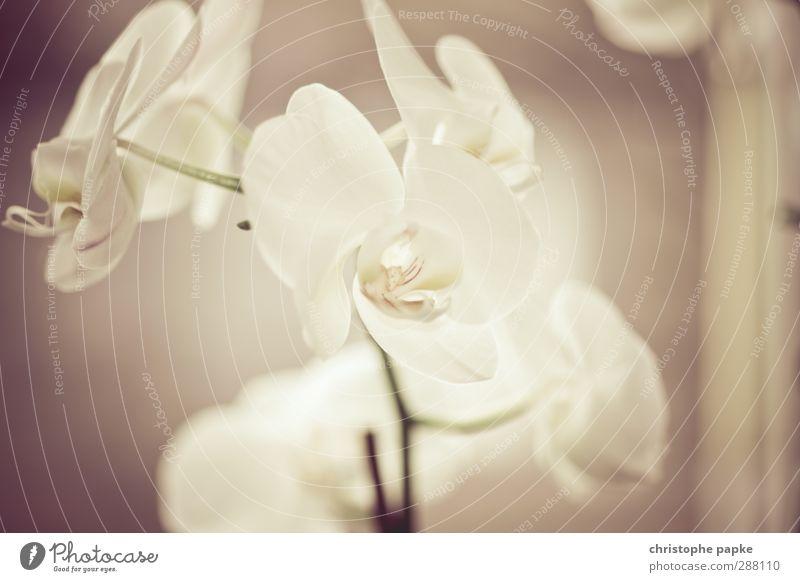 Orchideenfach exotisch Pflanze Blume Topfpflanze Blühend ästhetisch frisch schön pflanzlich Orchideenblüte züchten Grüner Daumen Retro-Farben Gedeckte Farben