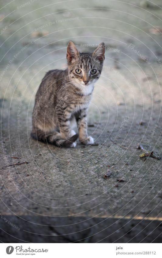 . Tier Haustier Katze 1 schön grau achtsam Schüchternheit Farbfoto Außenaufnahme Menschenleer Tag Tierporträt