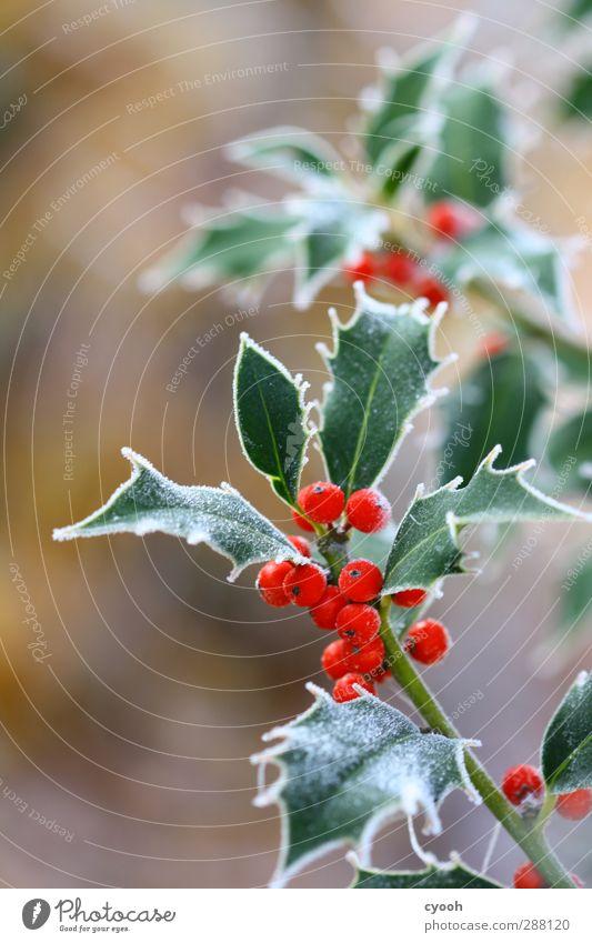 Eisig schön Natur Weihnachten & Advent grün Pflanze rot Blatt Winter kalt Schnee Garten Gesundheit Park Wachstum frisch leuchten