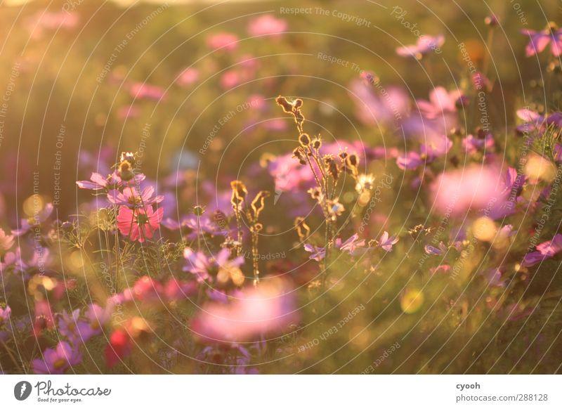 Sommererinnerungen Natur Blume Erholung Wiese Wärme Gras Traurigkeit Wetter rosa Wachstum leuchten Schönes Wetter weich Trauer genießen