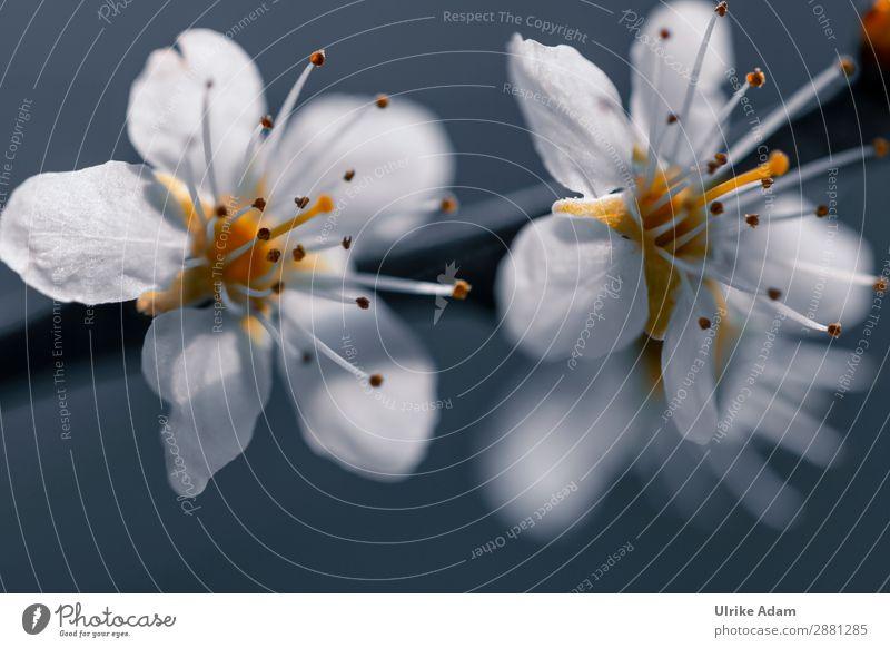 Blüten im Frühling Natur Pflanze weiß Blume Erholung ruhig natürlich grau Geburtstag Blühend Hochzeit Hoffnung Ostern Wellness