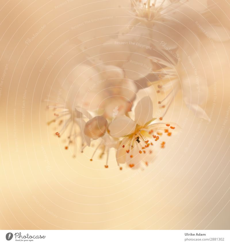 Zarte Blüten Natur Pflanze schön weiß Baum Blume Erholung ruhig Frühling Design Zufriedenheit hell träumen elegant Geburtstag