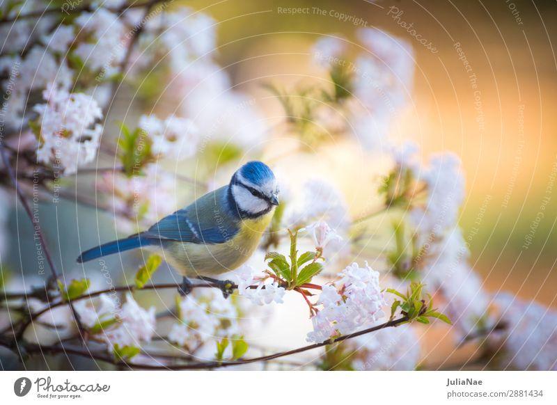 kleine Meise im blühenden baum Meisen Blaumeise Vogel Singvögel Baum Frühling Blüte Blühend Blume Zweig Ast füttern Natur Außenaufnahme