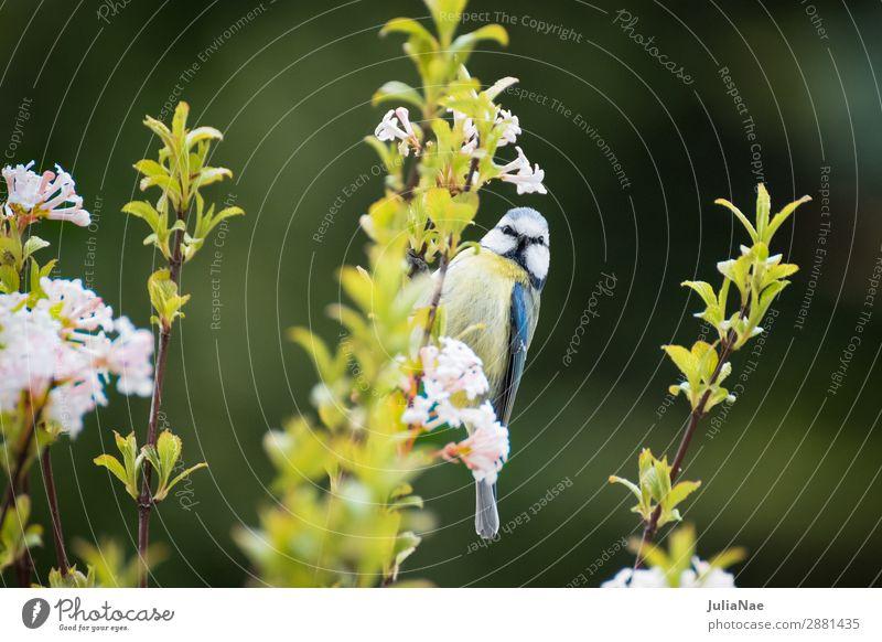 kleine Meise an einem blühenden Ast Meisen Blaumeise Vogel Singvögel Baum Frühling Blüte Blühend Blume Zweig füttern Natur Außenaufnahme