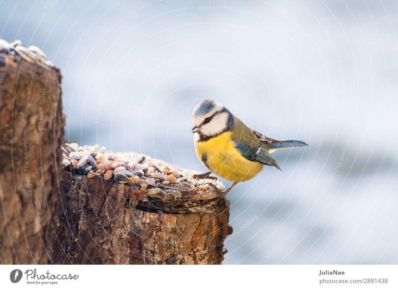 kleine blaumeise auf Futtersuche im Winter Meisen Blaumeise Vogel Singvögel füttern Natur Außenaufnahme Eis Schnee kalt