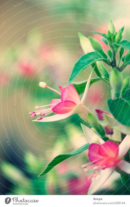Pink und Grün Pflanze Blume Blüte Blühend dreckig grün rosa Romantik Fuchsienblüten Farbfoto Außenaufnahme Menschenleer Tag Schwache Tiefenschärfe